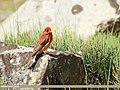 Common Rosefinch (Carpodacus erythrinus) (29844155323).jpg