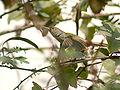 Common Tailorbird I IMG 9423.jpg