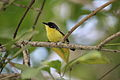 Common Tody-Flycatcher (Todirostrum cinereum) (5772335484).jpg