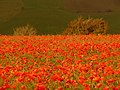 Compton Abbas, poppies catch the sun - geograph.org.uk - 1541481.jpg