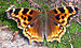 Compton Tortoiseshell - Photo (c) D. Gordon E. Robertson, some rights reserved (CC BY-SA)