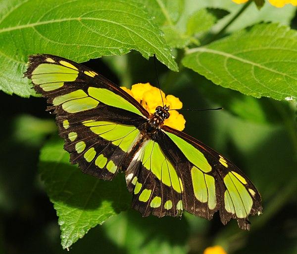 Bộ sưu tập cánh vẩy 4 - Page 49 600px-ComputerHotline_-_Lepidoptera_sp._%28by%29_%2821%29