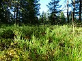 Coniferous forest in Sweden near the Svartälven river 05.jpg
