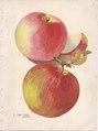 Continental Nurseries page 3 apple - Ontario, Jonathan.tiff