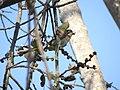 Coppersmith Barbet - Megalaima haemacephala DSC08652.jpg