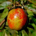 Cornish Aromatic apple.JPG