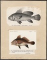 Corvina nigra - 1700-1880 - Print - Iconographia Zoologica - Special Collections University of Amsterdam - UBA01 IZ13400059.tif