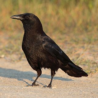 <i>Corvus</i> genus of birds