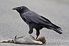 Corvus tasmanicus - Collinsvale.jpg