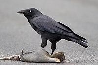 Corvus tasmanicus - Collinsvale