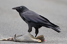 heavy-set black bird eating mangled animal corpse on road