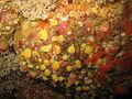 Corynactis viridis - Carantec.jpg
