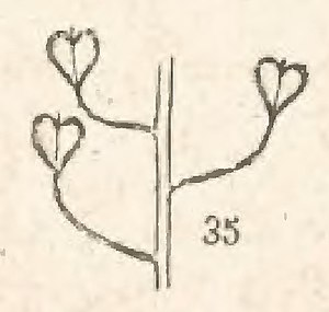 Coste - Flore descriptive, tome 1 (page 57 crop fig 35).jpg
