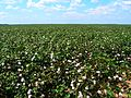 Cotton fields, Tensas Parish, Louisiana, USA 5.jpg