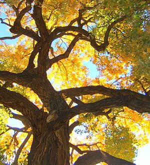 A Cottonwood tree in the fall, Albuquerque, Ne...
