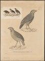 Coturnix cambayensis - 1700-1880 - Print - Iconographia Zoologica - Special Collections University of Amsterdam - UBA01 IZ17100135.tif