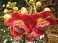 Couroupita guianensis - Cannon Ball Tree at Peravoor (7).jpg