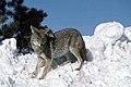 Coyote029 (26901961656).jpg