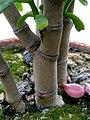 Crassula portulacea (5).jpg