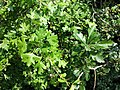 Crataegus monogyna (subsp. monogyna) + Crataegus laevigata (subsp. laevigata) sl1.jpg