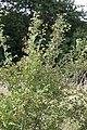 Crataegus monogyna vallee-de-grace-amiens 80 21072007 2.jpg