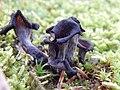 Craterellus cornucopioides100.jpg