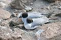 Creagrus furcatus -North Seymour Island, Galapagos Islands, Ecuador -two-8.jpg
