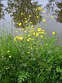 Creeping buttercup (2).jpg