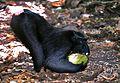 Crested Macaque Macaca nigra (7911437120).jpg