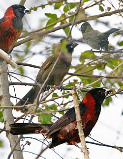 Crimson-colored Grosbeak From The Crossley ID Guide Eastern Birds.jpg