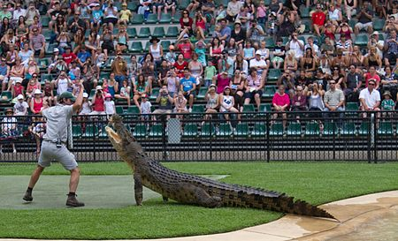 Crocodile display -Australia Zoo, Queensland, Australia-8Jan2011.jpg