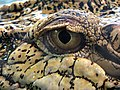 Crocodile marin Thoiry 19801.jpg