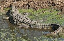 krokodil wasser