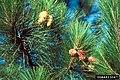 Cronartium strobilinum 4823047.jpg