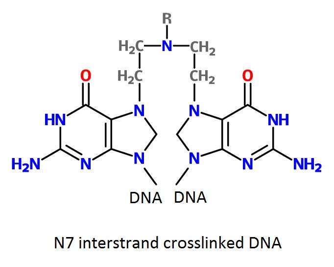 Cross-linked DNA by nitrogen mustard