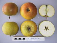Cross section of Gene Pitney, National Fruit Collection (acc. 1969-070).jpg