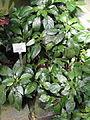 Crossandra nilotica - Palmengarten Frankfurt - DSC01834.JPG