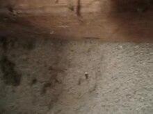 File:Crossopriza lyoni Video.ogv