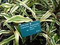 Cryptanthus bromelioides var. tricolor.JPG