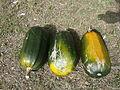 "Cucurbita pepo ""zapallo de Angola"" semillería La Paulita - frutos con manchas de sol.JPG"