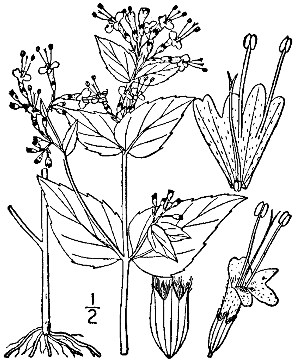 Cunila origanoides drawing 1