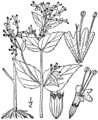 Cunila origanoides drawing 1.png