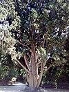 Cupressus sempervirens - κυπαρίσσι 02.jpg