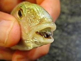 parazit ryba jazyk