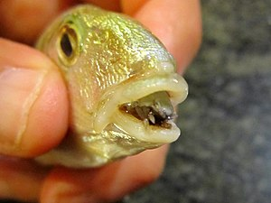 Parasitism - A Lithognathus fish with a parasitic isopod, Cymothoa exigua, one of many fish parasites
