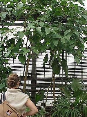 Tamarillo (Solanum betaceum)