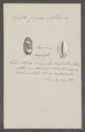 Cypraea stolida - - Print - Iconographia Zoologica - Special Collections University of Amsterdam - UBAINV0274 088 02 0055.tif