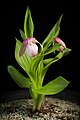Cypripedium macranthos '-1905 Kawai' Sw., Kongl. Vetensk. Acad. Nya Handl. 21 251 (1800) (34000452218).jpg