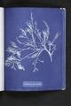 Cystoseira foeniculacea (NYPL b11861683-419696).tiff