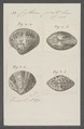 Cytherea picta - - Print - Iconographia Zoologica - Special Collections University of Amsterdam - UBAINV0274 078 01 0032.tif